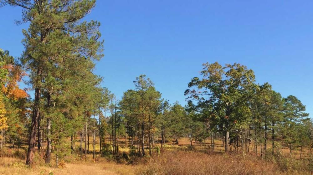Middle Georgia Quail Woods