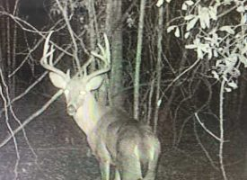 Planted Pines and Big Bucks